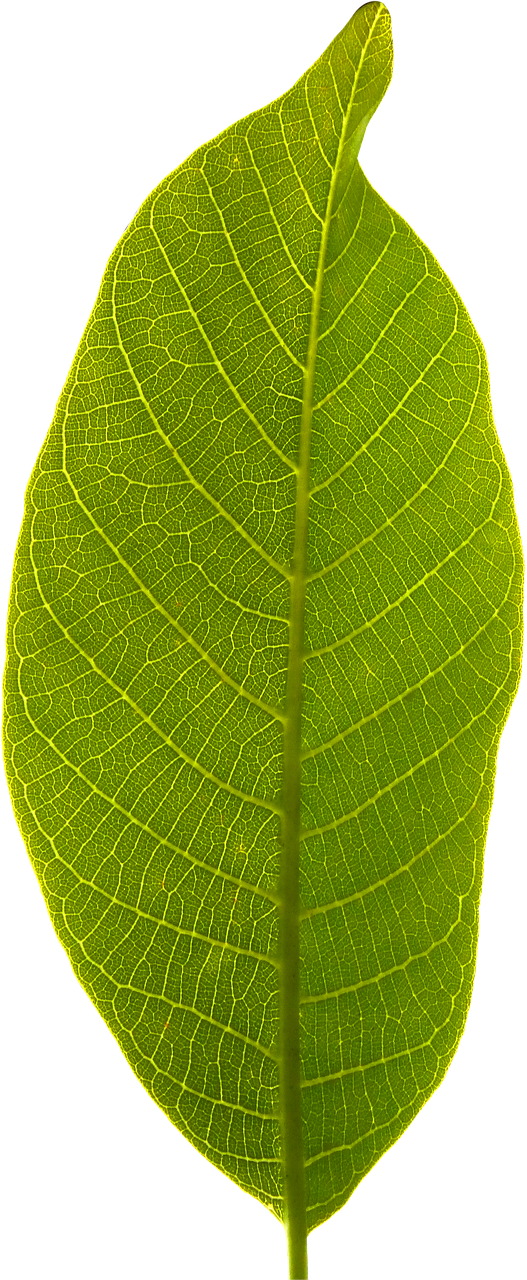 leaf, transparent background, cropped